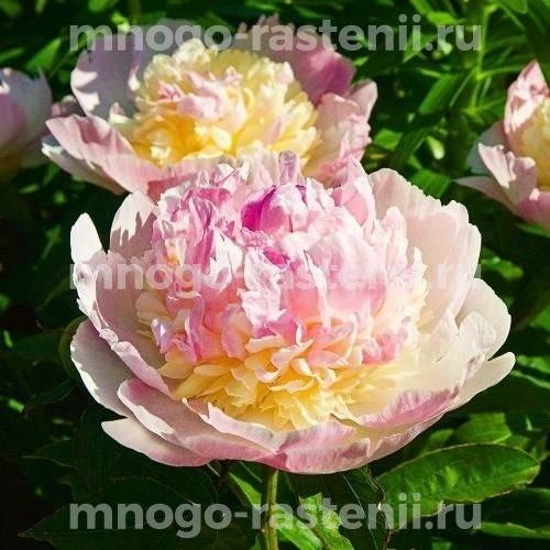 Пион молочноцветковый Респберри Сандае