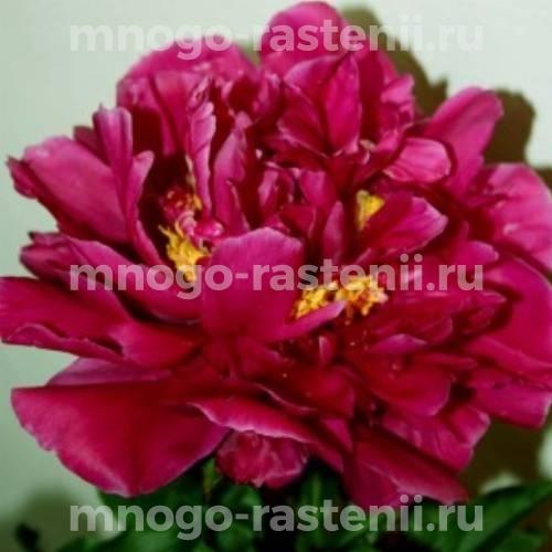 Пион молочноцветковый Ф. Коппиус