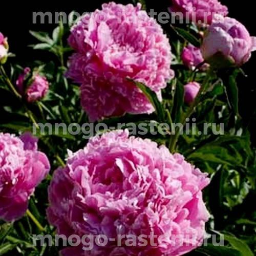 Пион молочноцветковый Эмма Клем