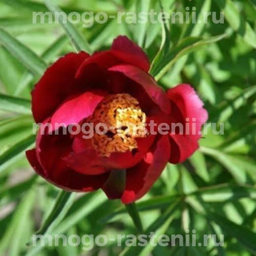 Пион молочноцветковый Эрли Скаут