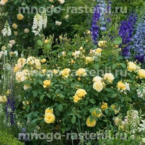 Пион молочноцветковый Грехам Томас