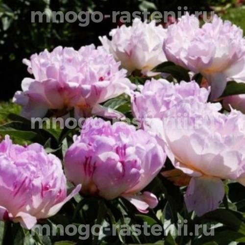 Пион молочноцветковый Пти Элеганс