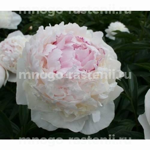 Пион молочноцветковый Мадам де Верневилль