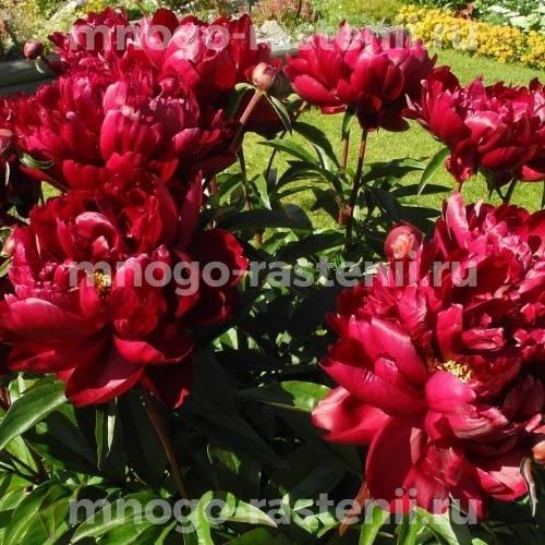 Пион молочноцветковый Армани