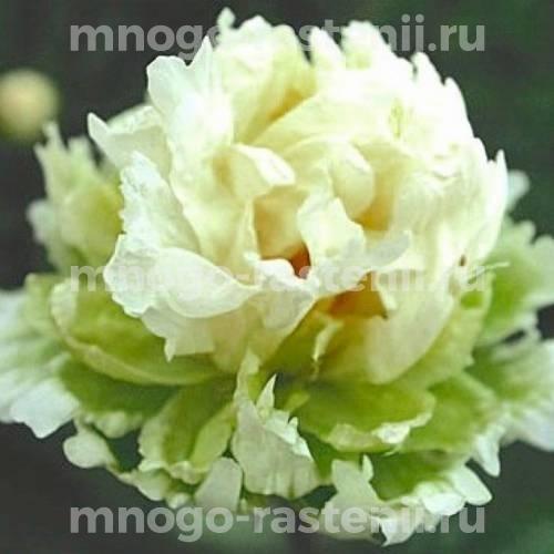 Пион молочноцветковый Грин Хало