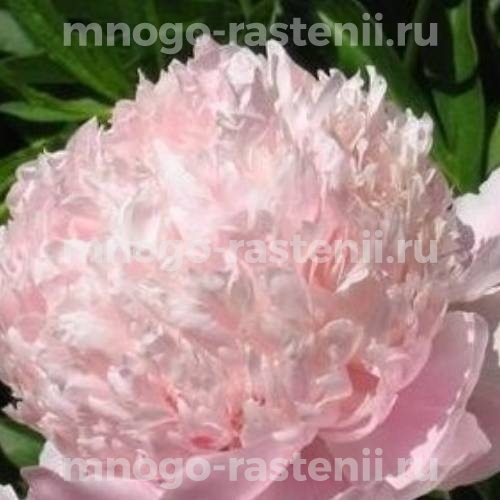 Пион молочноцветковый Cвит Сикстин
