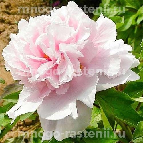 Пион древовидный  Розовый Король