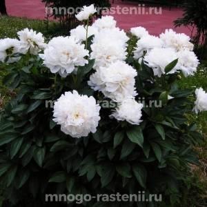 Пион молочноцветковый Амалия Олсон