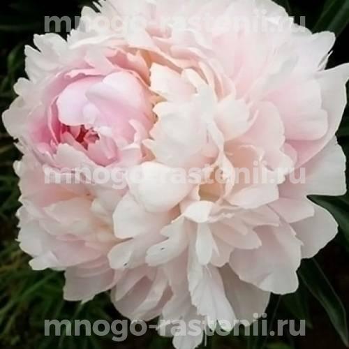 Пион молочноцветковый Флоренс Николс