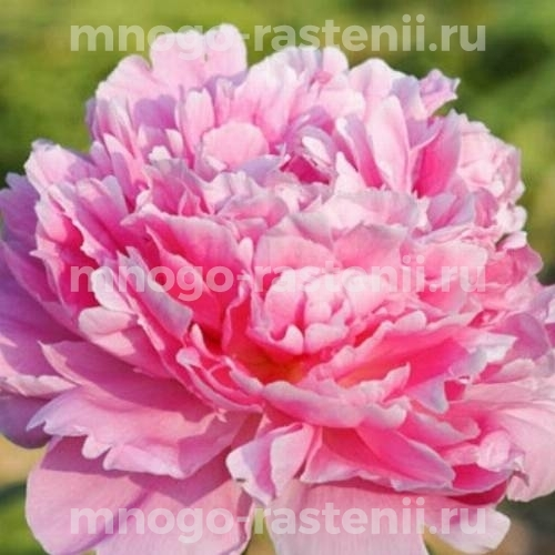 Пион молочноцветковый Пинк Парфе