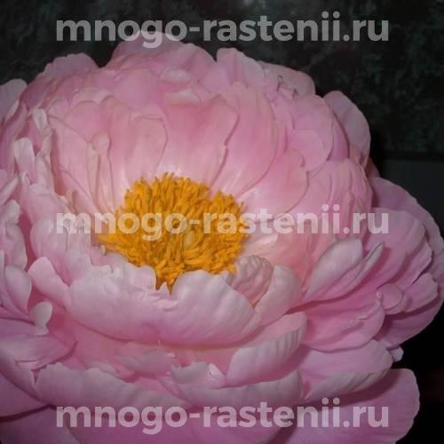 Пион молочноцветковый Флаинг Пинк Сосерс