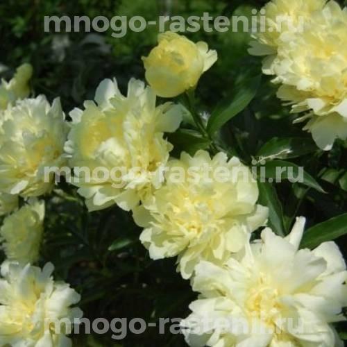 Пион молочноцветковый Голд майн