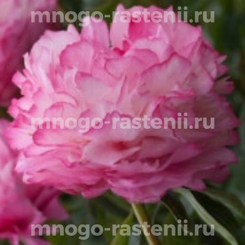 Пион молочноцветковый Импоссибл Дрим