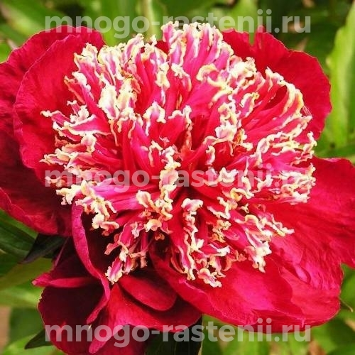 Пион молочноцветковый Чарльз Бургесс