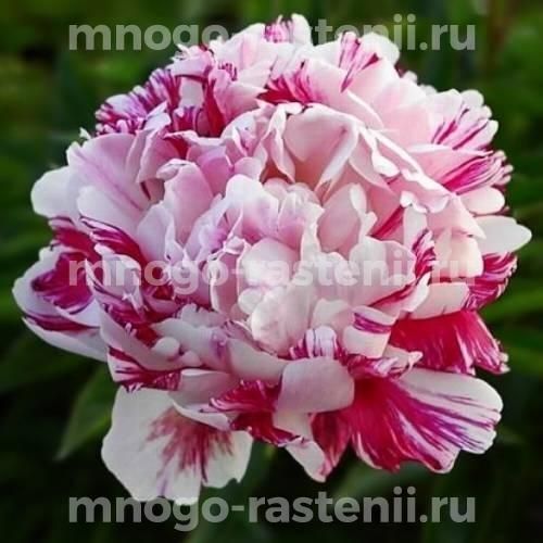 Пион молочноцветковый Кенди страйп