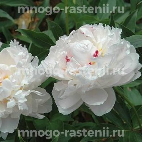 Пион молочноцветковый Аваланш