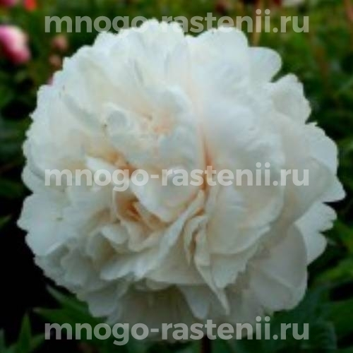 Пион молочноцветковый Алан Роджерс