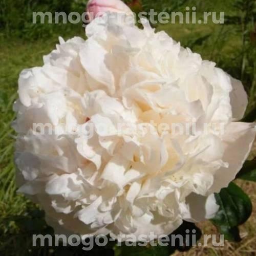 Пион молочноцветковый Алиса Хардинг