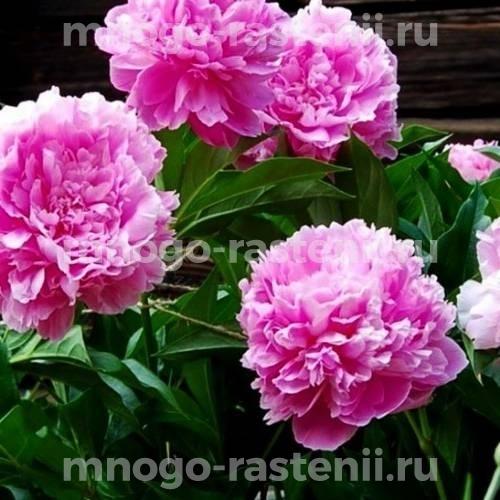 Пион молочноцветковый Амабилис