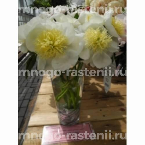 Пион молочноцветковый Афродита Кисс