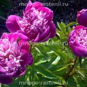 Пион молочноцветковый Бельвиль