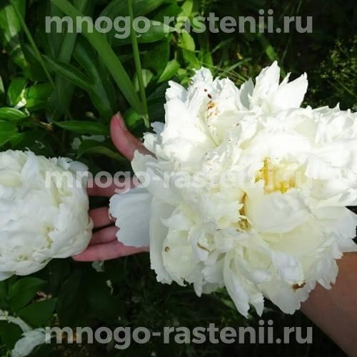 Пион молочноцветковый Боул оф Крим