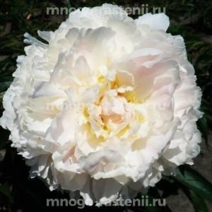 Пион молочноцветковый Бразер Чак