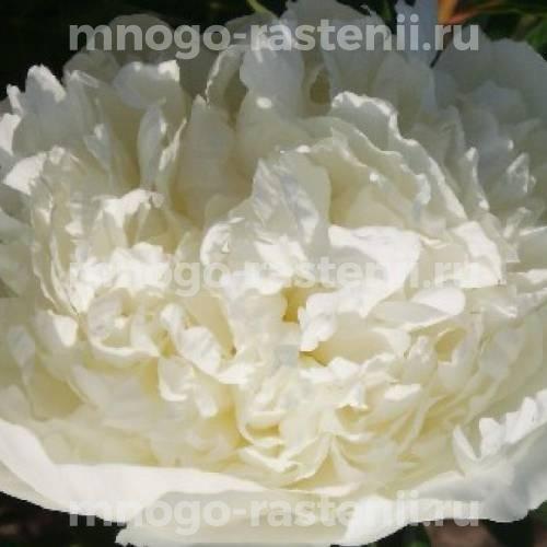 Пион молочноцветковый Брайдл Гаун