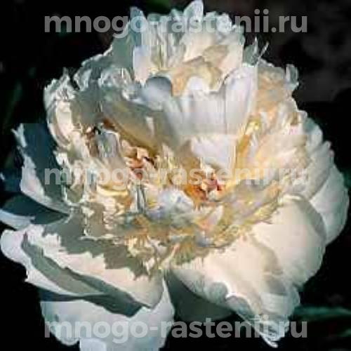 Пион молочноцветковый Брайдл Грейс
