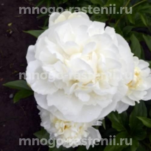 Пион молочноцветковый Вакатипу Вондер