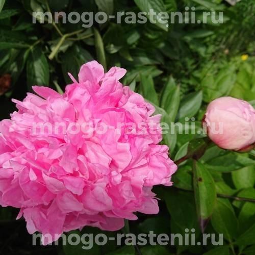 Пион молочноцветковый Вивид Роуз