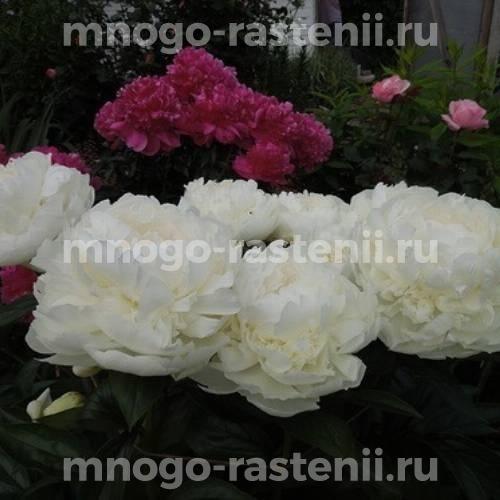 Пион молочноцветковый Генри А. Сасс