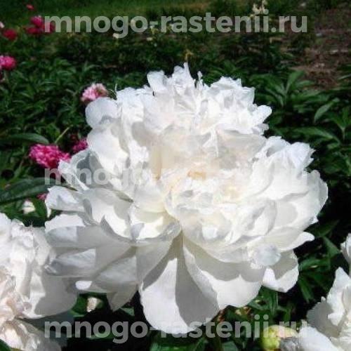 Пион молочноцветковый Джейкоб Стайер