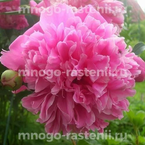Пион молочноцветковый Ирвин Олтман