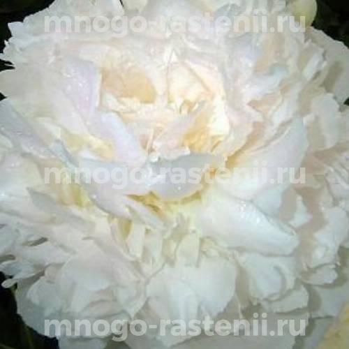 Пион молочноцветковый Камелия Уайт