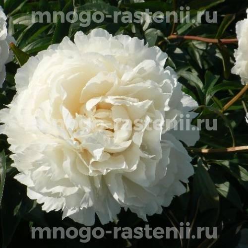 Пион молочноцветковый Карл Дж. Клем