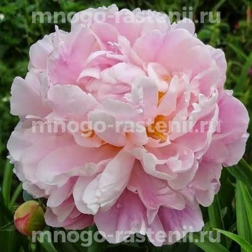 Пион молочноцветковый Катарина Фонтейн