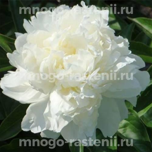 Пион молочноцветковый Келвейс Глориус