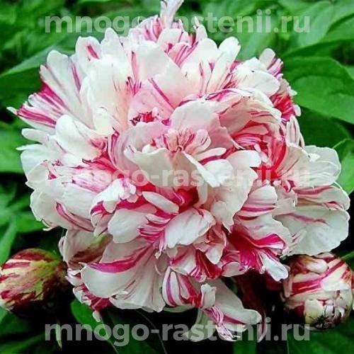 Пион молочноцветковый Киринмару