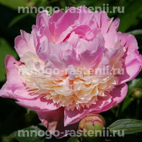 Пион молочноцветковый Клемансо