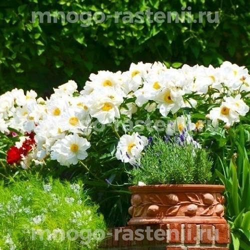 Пион молочноцветковый Кринклед Уайт