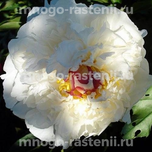 Пион молочноцветковый Курон д'Ор
