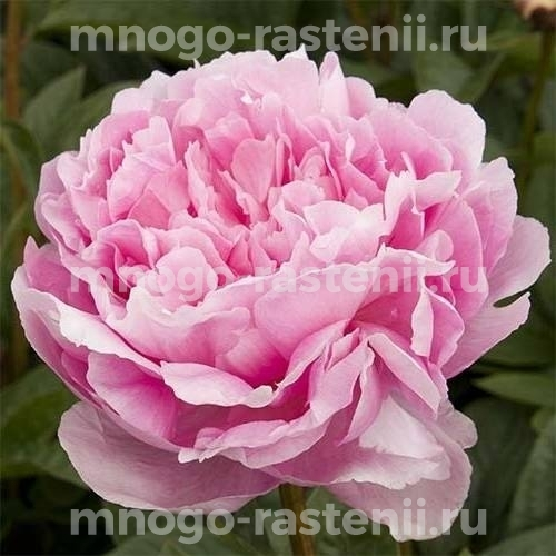 Пион молочноцветковый Леди Орчид