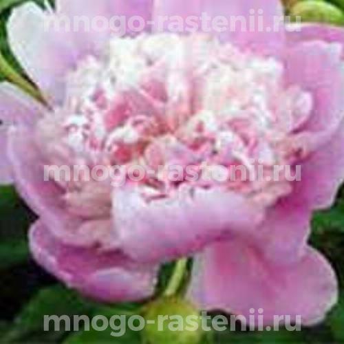 Пион молочноцветковый Мадам Жюль Бертье