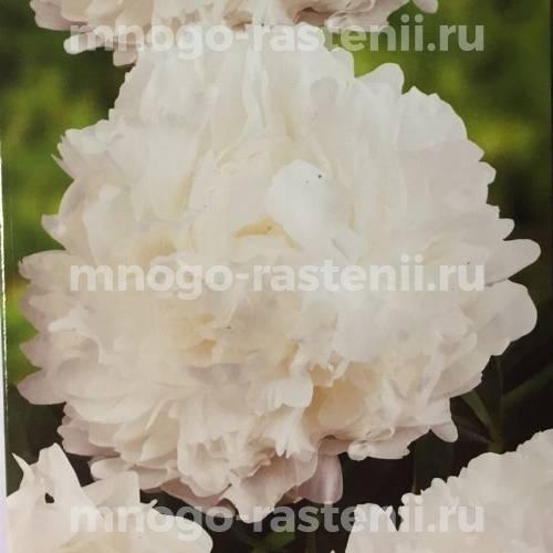Пион молочноцветковый Мадам Клод Тэн
