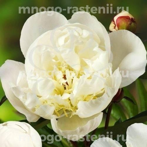 Пион молочноцветковый Мадрид