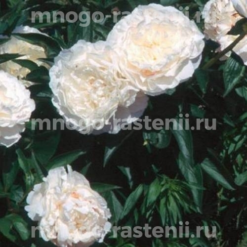 Пион молочноцветковый Мазерс Чойс