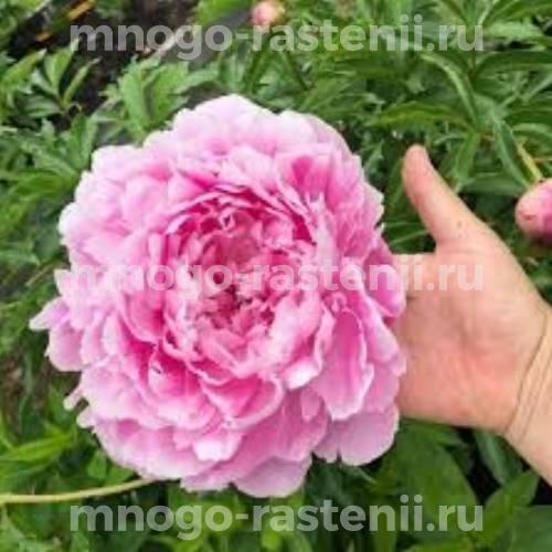 Пион молочноцветковый Марта Буллок