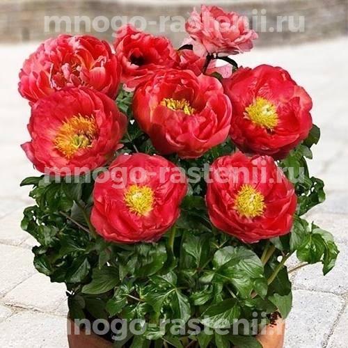 Пион молочноцветковый Москва