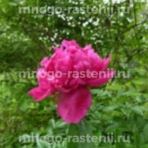 Пион молочноцветковый Мэри Бранд